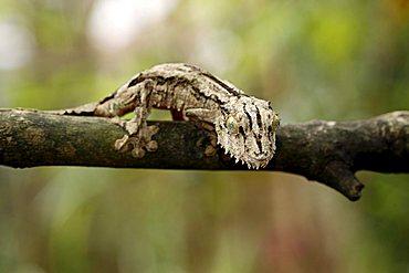 Flat or Leaf-tailed Gecko (Uroplatus sikorae sikorae), adult on a tree, Madagascar, Africa
