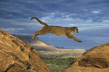 Cougar or Puma (Puma concolor), adult leaping between rocks, Utah, USA, North America
