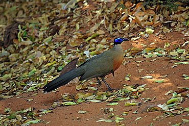Giant Coua (Coua gigas), adult, Berenty Game Reserve, Madagascar, Africa