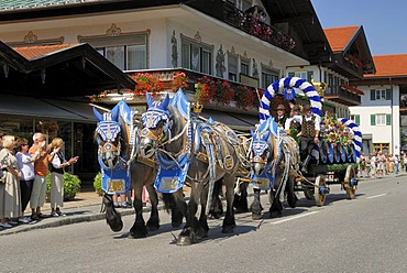 Carriage and four Belgian horses or Brabants from the Hofbraeuhauses Muenchen brewery at Rottacher Rosstag festival, Rottach-Egern at Lake Tegern, Upper Bavaria, Germany, Europe