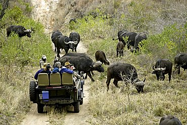 Tourists on safari watching a herd of Cape Buffalo (Syncerus caffer) from an open topped Land Rover, Sabi Sand Game Reserve, South Africa
