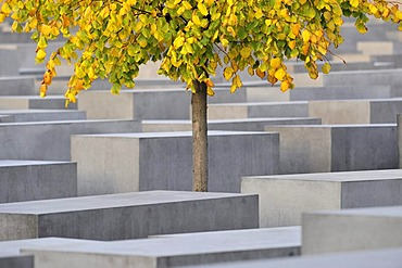 Tree with autumnal foliage standing on the grounds of the memorial for the murdered Jews in Europe, Holocaust Memorial, Berlin, Germany, Europe