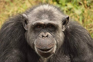Central African Chimpanzee (Pan t. troglodytes), adult, portrait, native to Africa