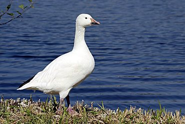Snow Goose (Anser caerulescens), adult, North America