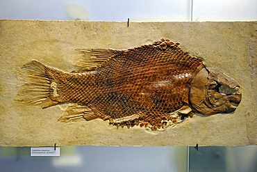 Fossilized ray-finned fish (Lepidotes maximus), Museum fuer Naturkunde, Natural History Museum, Berlin, Germany, Europe
