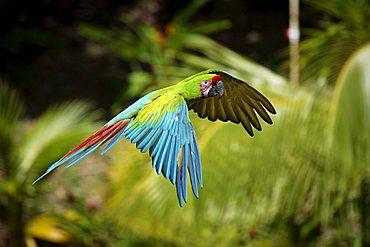 Military Macaw (Ara militaris), adult in flight, Roatan, Honduras, Central America