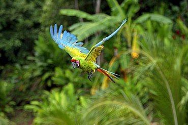 Military Macaw (Ara militaris), adult, in flight, Roatan, Honduras, Central America