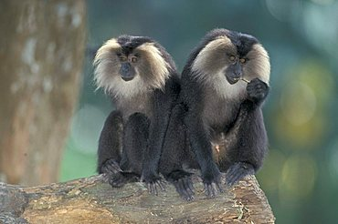 Lion-tailed macaques (Macaca silenus), adults, occurrence in India