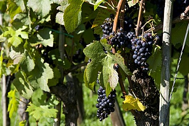 Grapes on a vine, Hagnau, Lake Constance, Baden-Wuerttemberg, Germany