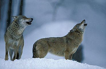 Eastern Canadian Wolf or Eastern Canadian Red Wolf (Canis lupus lycaon), couple in the snow, howling