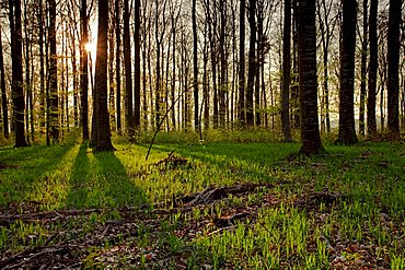 Beech forest in backlight, spring, Sipplingen at Lake Constance, Baden-Wuerttemberg, Germany, Europe