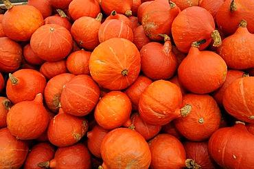 Pumpkins (Cucurbita)