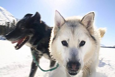 Portrait of husky sled dog running, Fish Lake, Yukon Territory, Canada