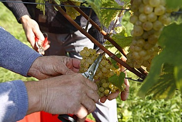 Hands harvesting grapes in Langegg, Southern Styria, Austria, Europe