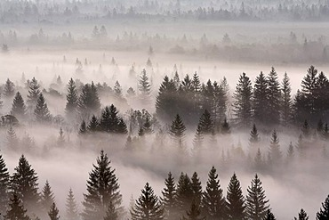 Conifer forest in morning fog, morning mood in the Pupplinger riparian forest near Wolfratshausen, Isar wetlands, Upper Bavaria, Germany, Europe