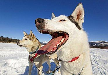 Portrait of panting sled dog, tongue, teeth, lead dog, Alaskan Husky, frozen Yukon River, Yukon Territory, Canada