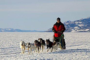 Man, musher running, driving a dog sled, team of sled dogs, Alaskan Huskies, frozen Lake Laberge, Yukon Territory, Canada