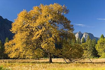 Oak tree (Quercus) in Yosemite Valley, Yosemite National Park, California, USA