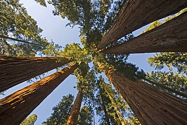 Giant Sequoias (Sequoiadendron giganteum) from below, Giant Forest, Sequoia National Park, California, USA