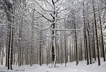 Snow-covered tree trunks, open-air enclosure, Bavarian Forest National Park, Bavaria, Germany, Europe