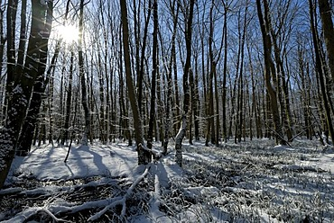 Winterly deciduous forest, back-light shot, Schleswig-Holstein, Germany, Europe
