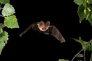 Brown Long-eared Bat or Common Long-eared Bat (Plecotus auritus)