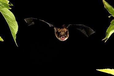 Whiskered Bat (Myotis mystacinus)