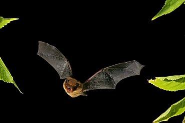 Soprano Pipistrelle (Pipistrellus pygmaeus)