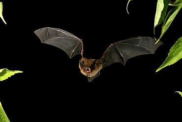 Nathusius' Pipistrelle (Pipistrellus nathusii)