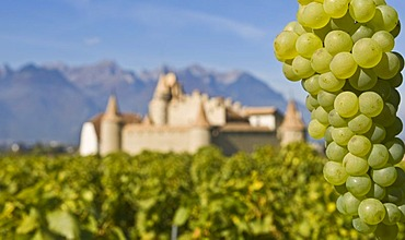 Chassela white grapes, Chateau d'Aigle in the background in the vineyards close to Lausanne, Kanton Waadt, Switzerland, Europe
