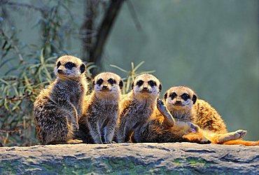 Meerkats (Suricata Suricatta), young