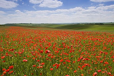 Corn poppies (Papaver rhoeas) in a cornfield, England, Great Britain, Europe