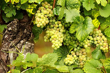 White grapes on a vine, Ribeauvillee, Alsace, France, Europe