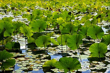 American Lotus (Nelumbo lutea Willd), leaves, backlit, Swartswoodlake, Swartswood, Sussex, New Jersey, USA