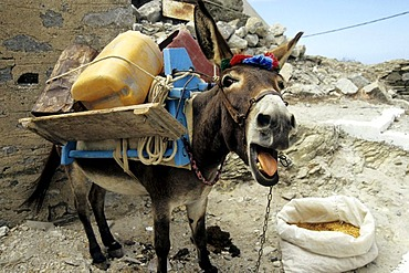 Donkey being disturbed while eating, mountain village Olympos, Karpathos, the Aegean, Dodecanese, Greece, Europe