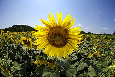Sunflower (Helianthus annuus), Vallon-Pont-d'Arc, Ardeche, Rhones-Alpes, France, Europe