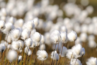 Cottongrass (Eriophorum) in the Hundefjord, East Greenland, Greenland