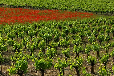 Vineyards and poppy field, Ardeche, Rhone-Alpes, France, Europe