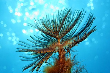 European Fan Worm (Sabella spallanzanii), crown of tentacles with backlighting, Cyprus, Asia, Mediterranean Sea
