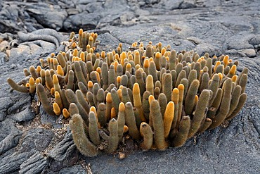 Lava cactus, (Brachycereus nesioticus), growing out of crack in lava rock, Fernandina, Punta Espinosa, island, Galapagos archipelago, Unesco World Heritage Site, Ecuador, South America, Pacific