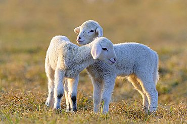 Domestic sheep, merino sheep, lambs
