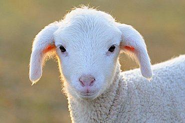 Domestic sheep, merino sheep, lamb, portrait