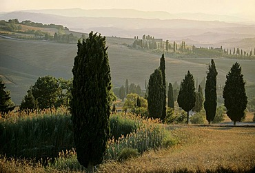 Landscape with cypress trees at dusk, Val d' Orcia near Monticchiello, Province of Siena, Toscany, Italy, Europe
