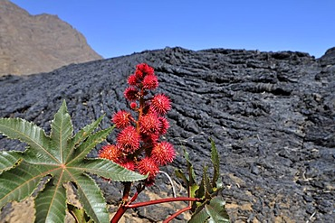 Castor Oil plant (Ricinus communis) in front of P&hoehoe lava, Cha das Caldeiras, Pico de Fogo Volcano, Fogo Island, Cape Verde Islands, Africa