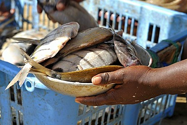Hands of a market-woman holding a bowl of fish, Sal Rei, Boa Vista Island, Republic of Cape Verde, Africa