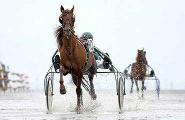 Trotting racer, Duhner Wattrennen, Duhnen Trotting Races 2008, the only horse race in the world on the sea bed, Cuxhaven, Lower Saxony, Germany, Europe