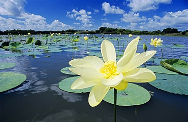 American Lotus (Nelumbo lutea), blooming, Corpus Christi, Coastal Bend, Texas, USA