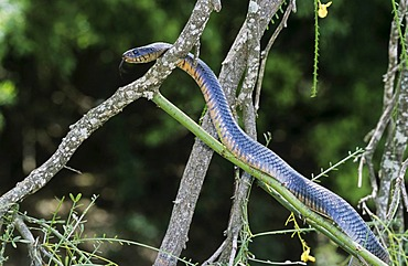 Texas Indigo Snake (Drymarchon corais erebennus), adult climbing Retama tree (Parkinsonia aculeata), Cameron County, Rio Grande Valley, South Texas, USA