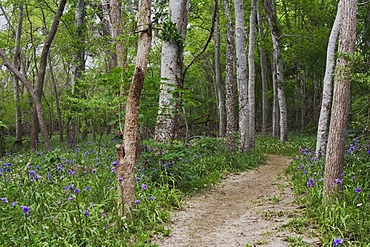 Prairie Spiderwort (Tradescantia occidentalis), blooming on forest floor and trail, Palmetto State Park, Gonzales County, Ost-Texas, USA