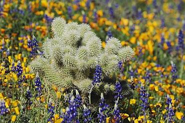 Teddy Bear Cholla Cactus (Opuntia bigelovii) in field of Mexican Gold Poppy (Eschscholzia californica mexicana) and Desert Lupine (Lupinus sparsiflorus), Sonoran Desert, Tonto National Forest, Bartlett Lake, Arizona, USA